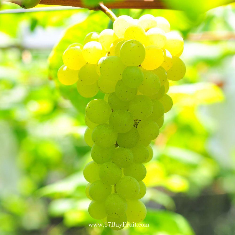 夢幻翡翠綠無籽水晶葡萄
